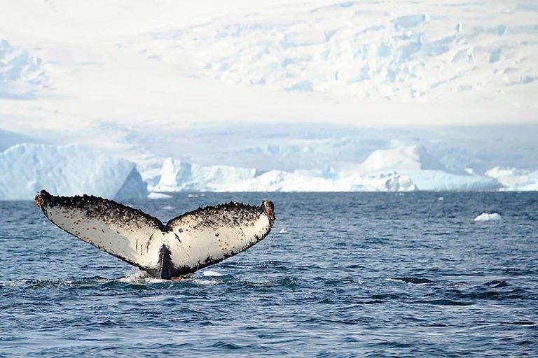 Baleias pela Antártida